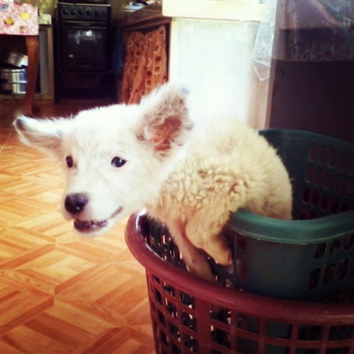Marshmallow trying to escape the laundry basket. Ha ha! :)) #dog #Laundry #basket #cute