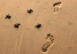 Newly hatched Olive Ridley turtles crawl towards the shores of the Bay of Bengal, past human footprints at the Rushikulya River mouth beach in India Photograph: Biswaranjan Rout/AP