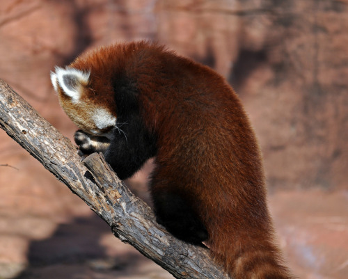 How were my first two days back to work? Here, I'll let this red panda image sum things up for me.  =p