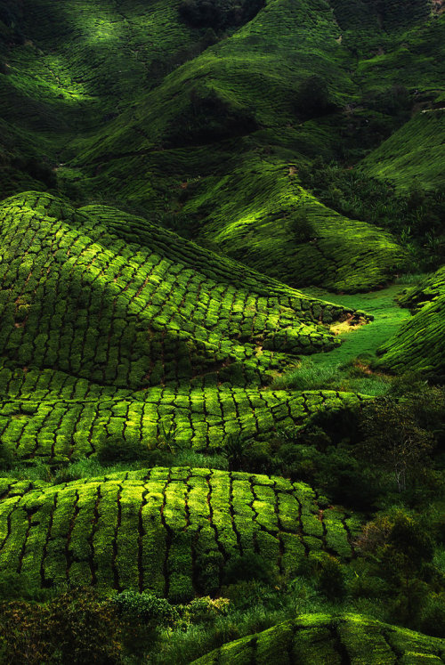 0mnis-e:  Tea farm, By DawnRoseCreation.