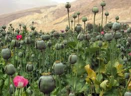 A poppy field, which will be used for opium
