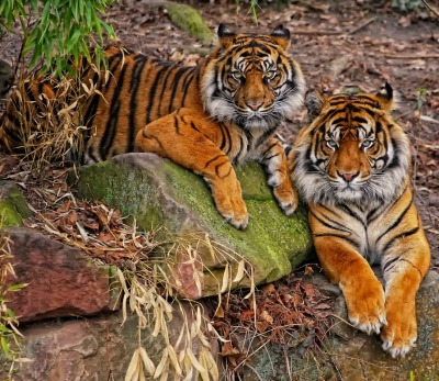 llbwwb:  For the tiger lovers:) couple_I by ~deoroller .