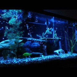 My set up. Blue ligjts. #cichilid #freshwater #fishtank #fish #aquarium
