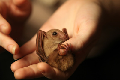 pilpecurb:  Because baby bats are just adorable.