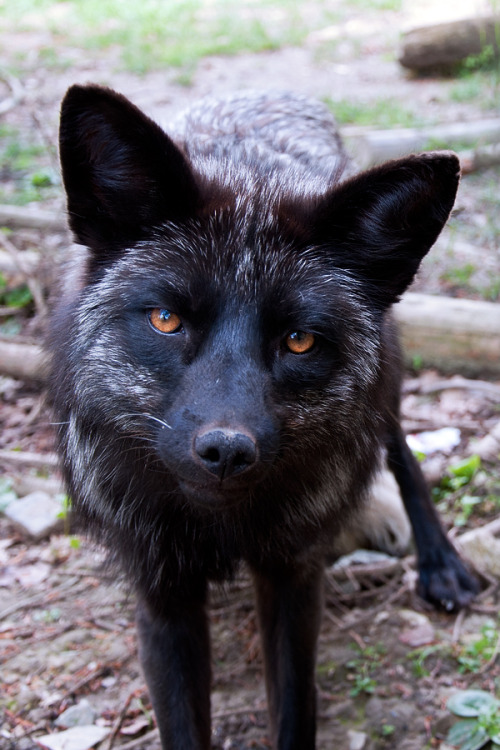 captivating-animals:   Silver Fox by =Skia