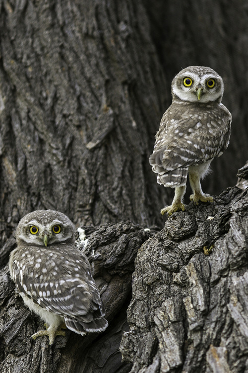 h4ilstorm:  Eye to Eye_LIttle Spotted Owlets (by Ghulam Rasool Photography)  'owlets' that's the cutest word ever