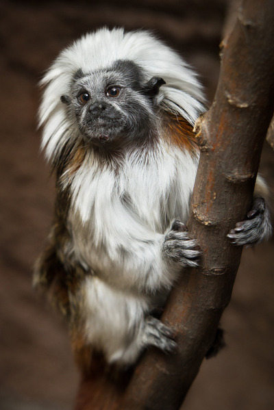 vurtual:  Cotton-Top Tamarin (by William T Hornaday)