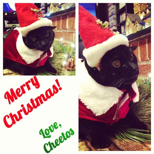 Merry Christmas! Love, Cheetos and Algae Veronica <3 #christmas #cats #hehatesmesomuchrightnow