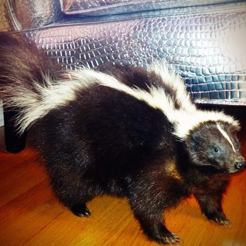 "corporatevampire:  Pepe le #taxidermy #skunk one of today's models…  ""Com wit me to my cas-bah ma cherie… and we shall make ze beautiful muzique to-geth-air!!"" :-> Sorry, I couldn't resist putting words into Pepe's mouth."