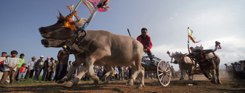 Makepung Buffalo Races in Bali 2013Dates: • 28 July 2013 Mertasari, Jembrana • 11 August 2013 Tuwed, Jembrana (Regent's Cup)• 25…View Post