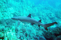 tipped by BarryFackler on Flickr.Whitetip Reef Shark