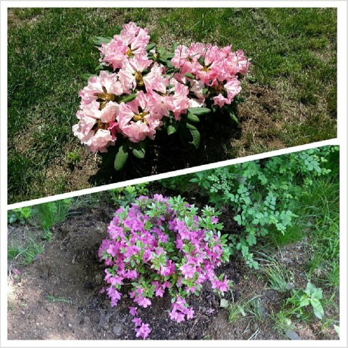 My #rhododendron and #azalea are both doing very well! #flowers #garden