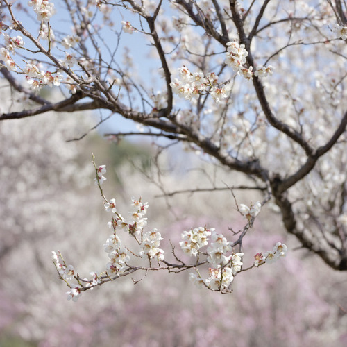 dreams-of-japan:  Spring's  fragrance 4 by haribote on Flickr.