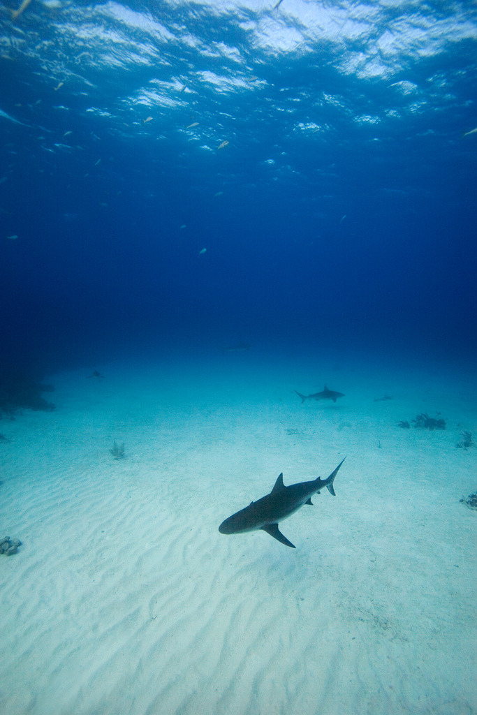 oceansoftheworld:  100leaguesunderthesea:  Caribbean Reef Sharks - New Providence, Bahamas by James R.D. Scott   Caribbean reef shark (see this post)