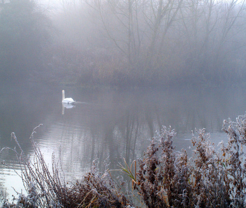 t-umulus:  Swan in the mist by the.deanery on Flickr. Via Flickr: A Swan in the mist on Three Brooks Lake, Bradley Stoke, South Gloucestershire.  Happy Birthday, Riley.