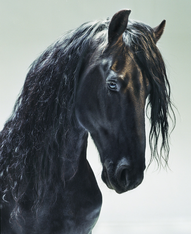 ladypandacat:  madamecuratrix:  Beautiful Friesian horse portrait. From Horses, by photographer Jill Greenberg.  Son of Loki? We all know how Loki feels about horses…