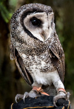 jaws-and-claws:   Sooty Owl by Kymie