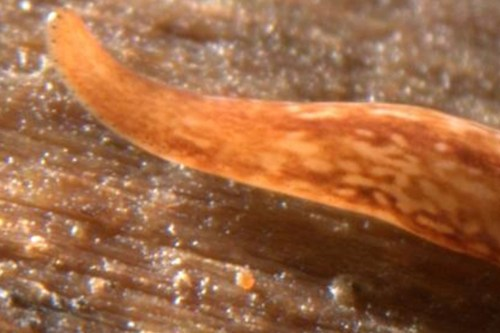 Flatworm Discovered Possessing 60 Eyes  July 2012 - by Mark Brown A flatworm with 50 to 60 eyes has been  discovered at a nature reserve in Cambridgeshire. The odd little critter is potentially an undescribed species. Brian Eversham, chief executive of the Wildlife Trust for Bedfordshire, Cambridgeshire and Northamptonshire, found the flatworm in the  Shepreth L nature reserve… (read more: Wired Science)