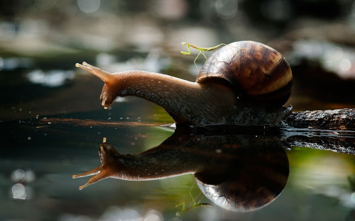 animals-riding-animals:  mantis riding snail