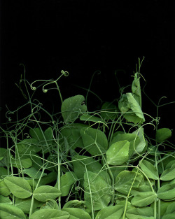 valscrapbook:  54399 Pisum sativum var. macrocarpon by horticultural art on Flickr.