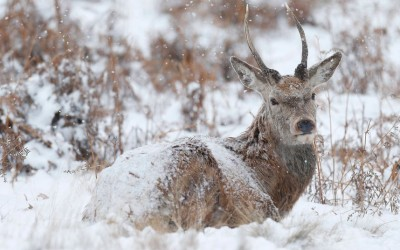 A deer sits in the snow in Richmond Park, London.  Picture: REUTERS/Andrew Winning