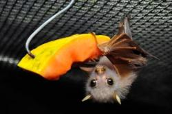 cute baby tube nosed bat