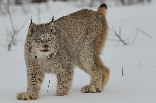 thecatdogblog:  Canadian Lynx in the Snow by Ami 211 on Flickr.  耳毛ピーーーン!