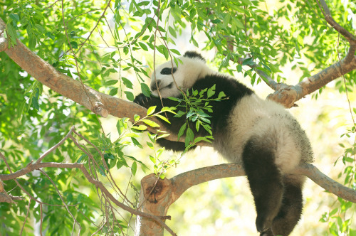 giantpandaphotos:  Xiao Liwu at the San Diego Zoo, California, on April 20, 2013. © Rita Petita.