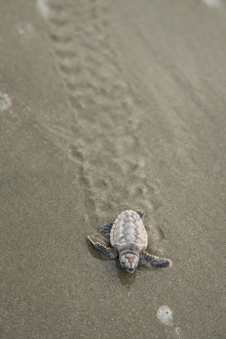 animals baby beach sand turtles coast sea turtle rescue marine reptile iop