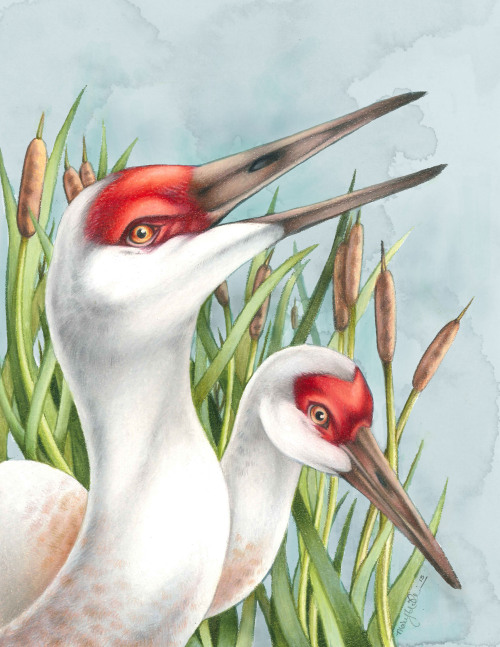 "marywilliams:  Sandhill Cranes. Colored Pencil, Watercolor, Digital. 8.5""x11"" <3 Prints are available if you are interested! Limited number, message me if you're interested! :)"