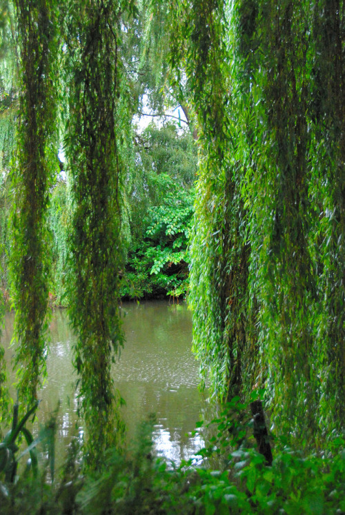 The Beth Chatto Gardens - Weeping Willow or Sweeping Willow? by antonychammond on Flickr.