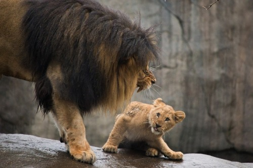 """sixpenceee: """" A male lion scolds his son! (Source) """""""