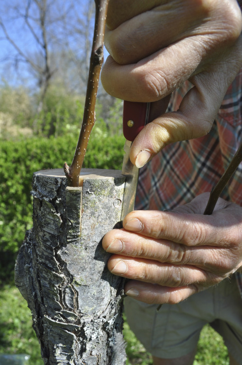 motherearthnewsmag:  Grafting for a Tree Makeover By Lee Reich I grow about two dozen varieties of pear, all trees I made myself by growing rootstocks from pear seeds and grafting onto those rootstocks one or more stems (known as scions) of a variety I want to grow. (Pears on seedling rootstocks grow very large and I'm afraid of heights. So I usually make dwarf trees by grafting scions onto scions of special dwarfing rootstocks that, in turn, get grafted on the seedling rootstocks.)