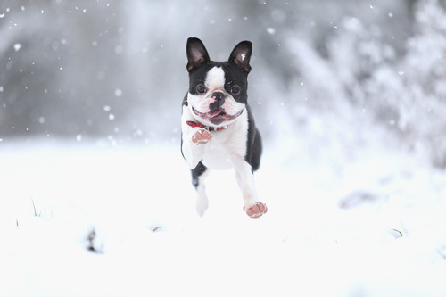allcreatures:  Freddy the Boston terrier from Nottingham, UK Photograph: Laurence Griffiths/Getty Images (via 24 hours in pictures | News | guardian.co.uk)
