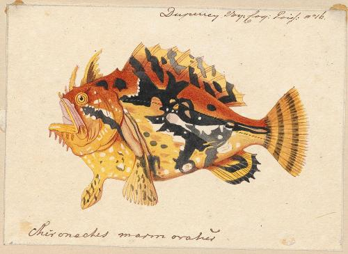 scientificillustration:  Sargassumfish - Histrio histrio (Linnaeus, 1758) Source
