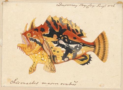 scientificillustration:  Sargassumfish - Histrio histrio (Linnaeus, 1758) Source