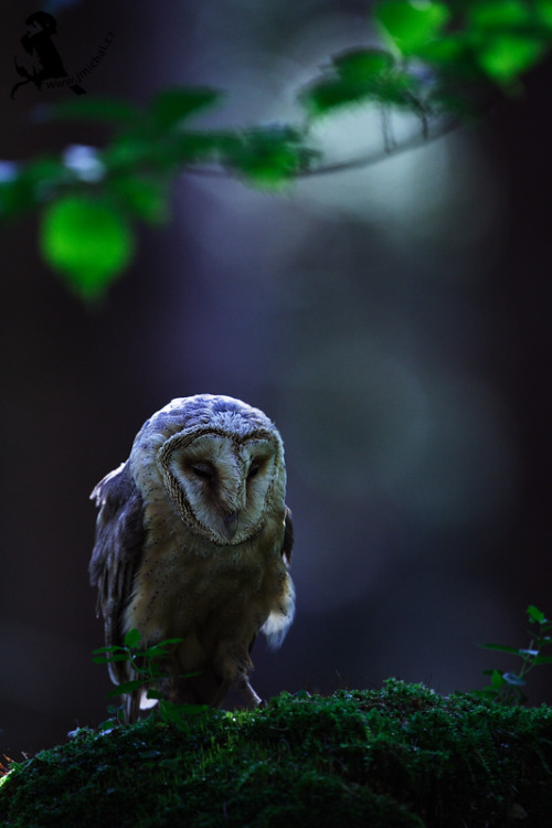 fairy-wren:  barn owl (photo by jiri michal)