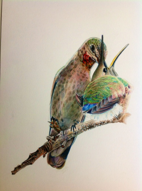 lindsayholladay:  Anna's Hummingbird feeding baby - color pencil