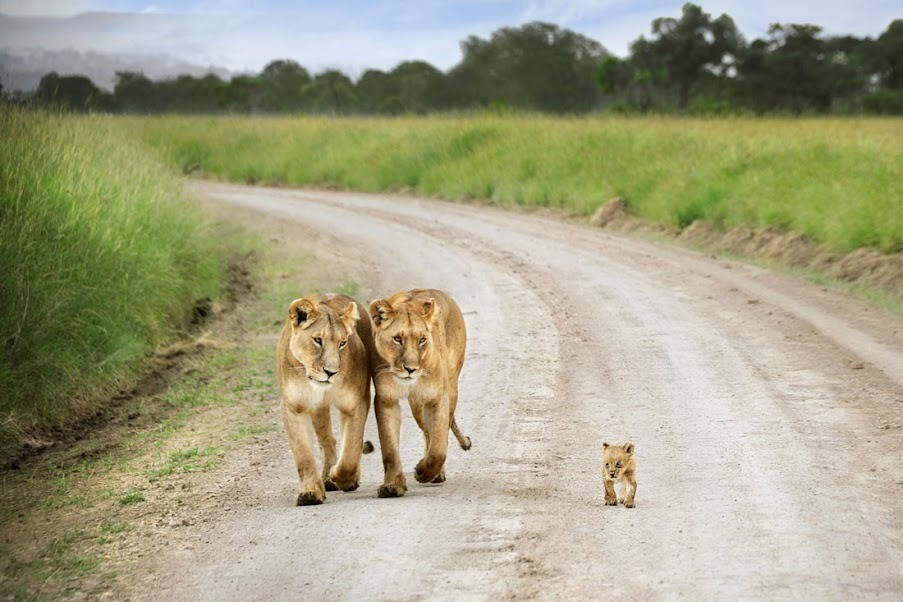 funnyordie:  You'd be lion if you said this isn't adorable.