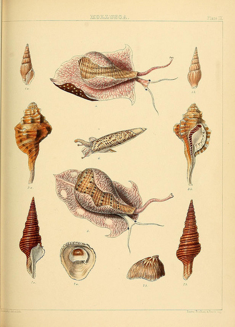 scientificillustration:  The Zoology of the voyage of H.M.S. Samarang by BioDivLibrary on Flickr. London :Reeve and Benham,1850 [i.e. 1848-1850].biodiversitylibrary.org/page/39771048