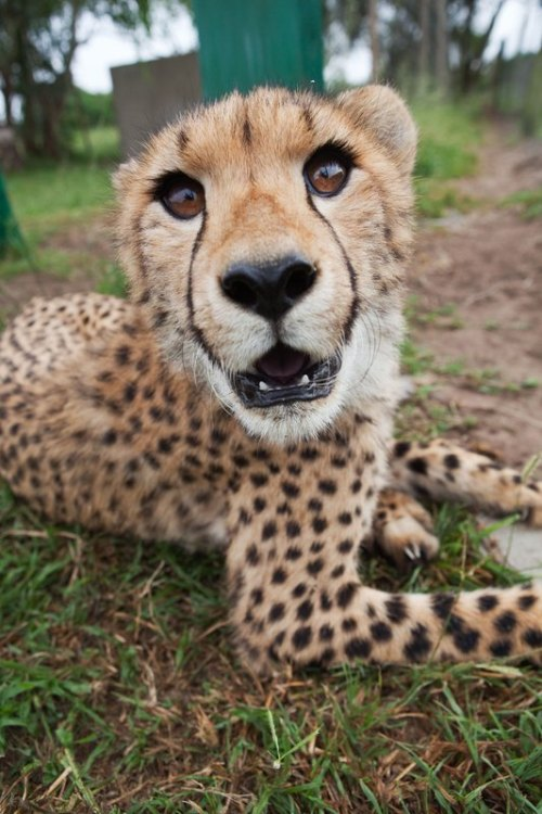 theanimaleffect:  cheetah by Marine Connan