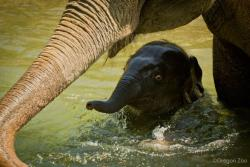 zooborns:  UPDATE! Springtime Swim For Baby Elephant and Mom  Lily, the baby Asian Elephant  had a blast in the water with 18-year-old mom Rose-Tu. Now six months old, Lily was born on November 30 at the Oregon Zoo, which ZooBorns covered here. Many people are surprised to find that elephants love the water and are natural swimmers. Though their bodies are large, they are quite bouyant, using all four legs to paddle while their trunk acts as a snorkel. These animals are strong and hence can swim long distances.  Visit ZooBorns to see more photos and an adorable video of Lily playing in the water!