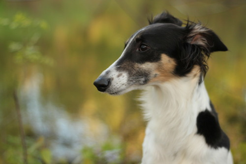 handsomedogs:  Cricket, my longhaired whippet