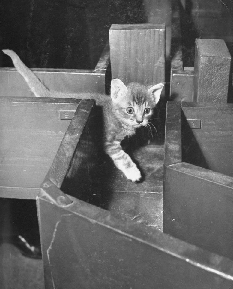 fewthistle:  There better be tuna at the end of this thing! Kitten in a maze. 1952. Photographer: Nina Leen