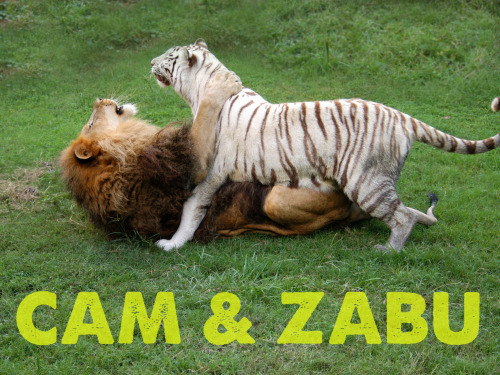 "Cameron & Zabu ""CAMBU"" love each other very much! (We do not breed at BCR, Cam & Zabu were living together when we rescued them from a roadside zoo that closed down, they get along very well so they live together at the sanctuary but have been fixed)"