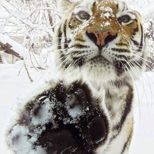 9gag:  Tiger high five 🐅