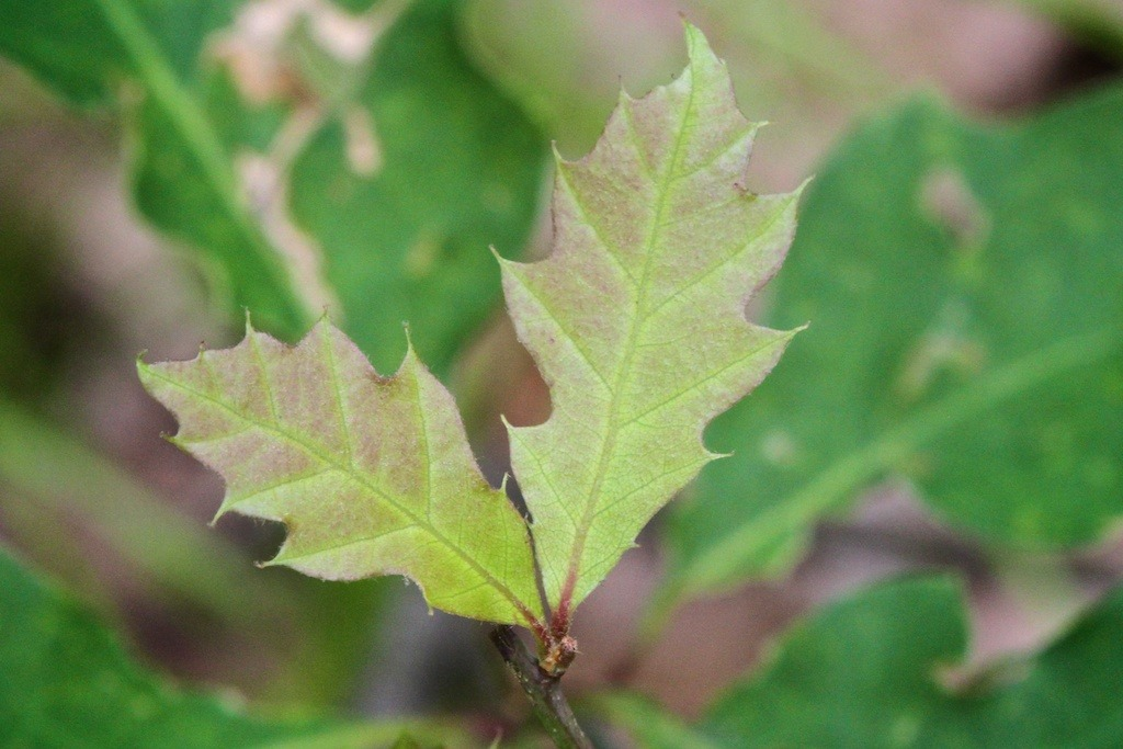emerging oak leaves