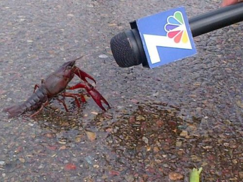 "Lobster Gets Interviewed by Channel 7 ""How does it feel to finally be out of the tank?"""