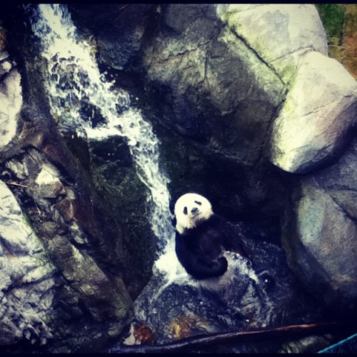 kimperjein:  Tell me watcha watcha lookin at? #cute #panda #hongkong #pandaadventure (at Ocean Park Hong Kong 香港海洋公園)  I'm so jealous right now. When I went to Ocean Park I wasn't able to see the pandas because it was under renovation. /wrist