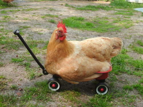 fat-birds:  cluckyeschickens: Fat hen just about fits in the wagon. [x]